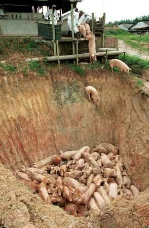 Pigs being buried alive by the Malaysian government